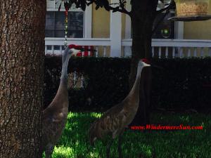 A pair of Windermere Cranes (credit: WindermereSun-Susan Sun Nunamaker)