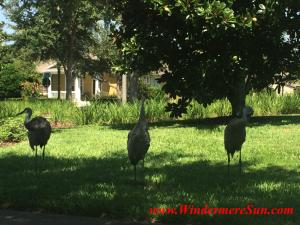 Windermere Crane Family2 (credit:Windermere Sun-Susan Sun Nunamaker)