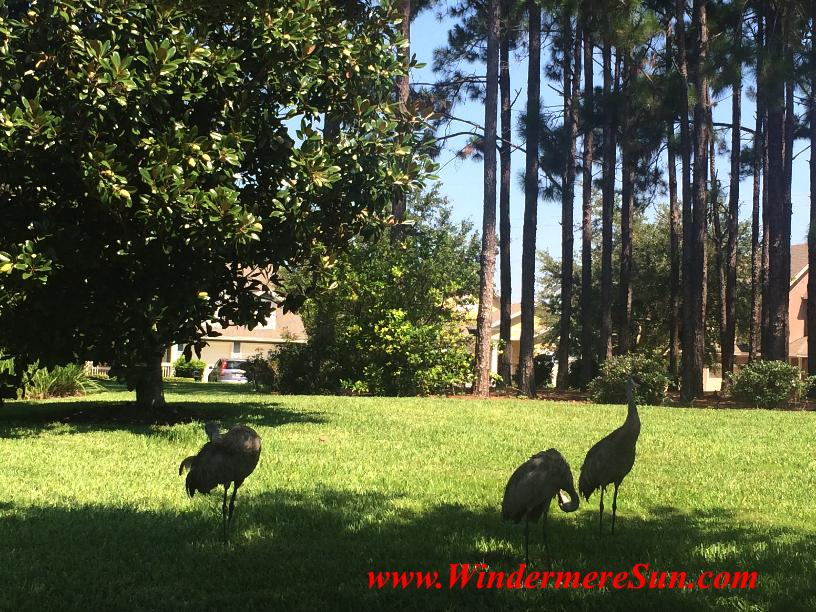 Windermere Crane Family3 (credit: Windermere Sun-Susan Sun Nunamaker)