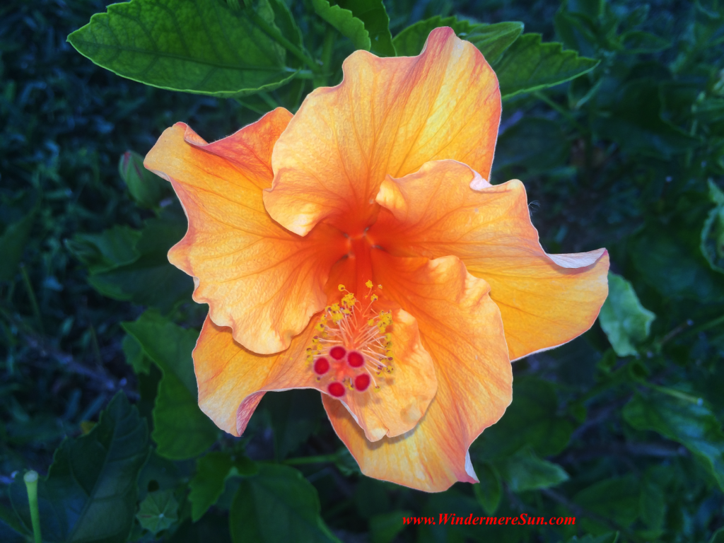 HAPPY MOTHER'S DAY-Hibiscus 6 grown in Windermere (credit: Windermere Sun-Susan Sun Nunamaker)