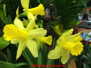 Daffodils (photographed by Windermere Sun-Susan Sun Nunamaker)
