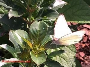 Butterfly (credit: Windermere Sun-Susan Sun Nunamaker)