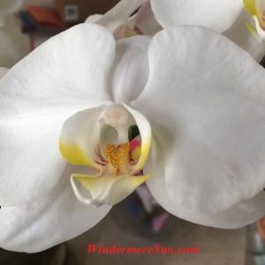 Orchids (photographed by Windermere Sun-Susan Sun Nunamaker)