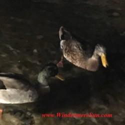 Disney-even ducks seem more at ease near Katsura Grill of Epcot (credit: Windermere Sun-Susan Sun Nunamaker)