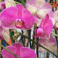 Orchids at Windermere & Winter Garden Farmer's Market (credit: Windermere Sun-Susan Sun Nunamaker)