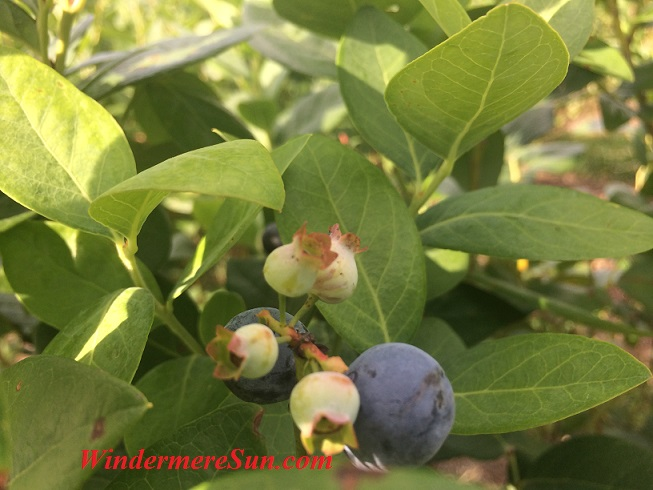 Blueberries (credit: Windermere Sun-Susan Sun Nunamaker)