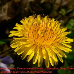 Dandelion-Flower, Taraxacum officinale, Attribution by Greg Hume