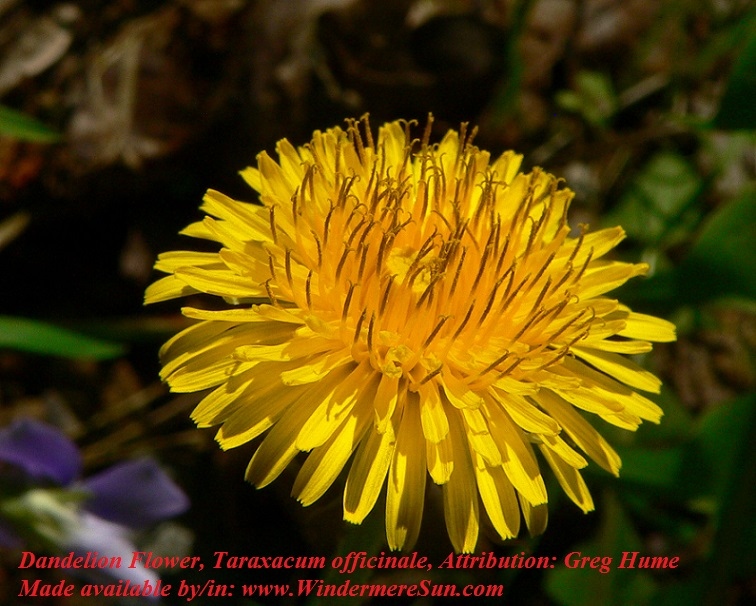 Dandelion-Flower, Taraxacum officinale, Attribution by Greg Hume final