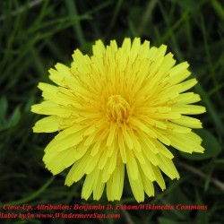 Dandelion_close-up Attribution Benjamin D. Esham Wikimedia Commons