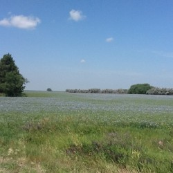 Flax_field in bloom in North Dakota CC author Bookworm857158367