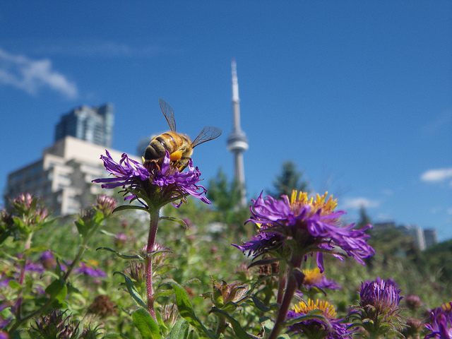 Honey_bee_in_Toronto Honey bee visiting a new england aster with the cn tower in the background more on Urban beekeeping here CC Author Shawn Caza @ httpwww.torontohoneys.com