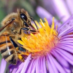 Honeybees pollinate more than just flowers, they're a vital part of our agricultural cycles. (Photo: FrauBucher/ flickr)