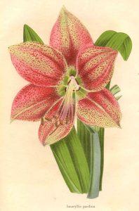 Amaryllis-Hippeastrum_pardinum1 (public domain)