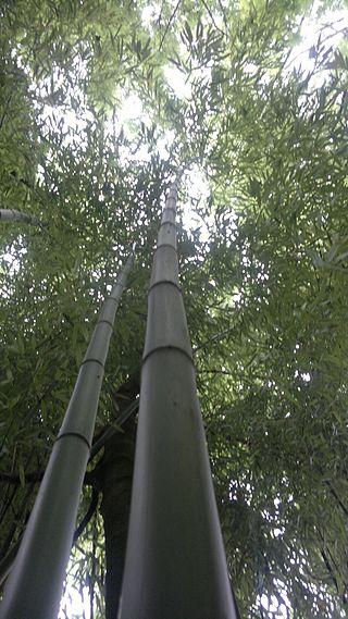 Bamboo_bambou_bambuseae_phyllostachys_VAN_DEN_HENDE_ALAIN_CC-BY-SA-4_0_210520142095