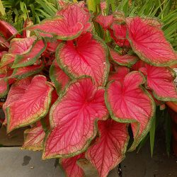 Caladium bicolor 'Florida Sweetheart' plant (GNU Free Documentation License, author Derek Ramsey)