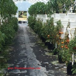 Tomatoes of Bekemeyer Hydroponic Farm (1055 E. Story Road, Winter Garden, FL, 407-917-8068), photographed by Windermere Sun-Susan Sun Nunamaker