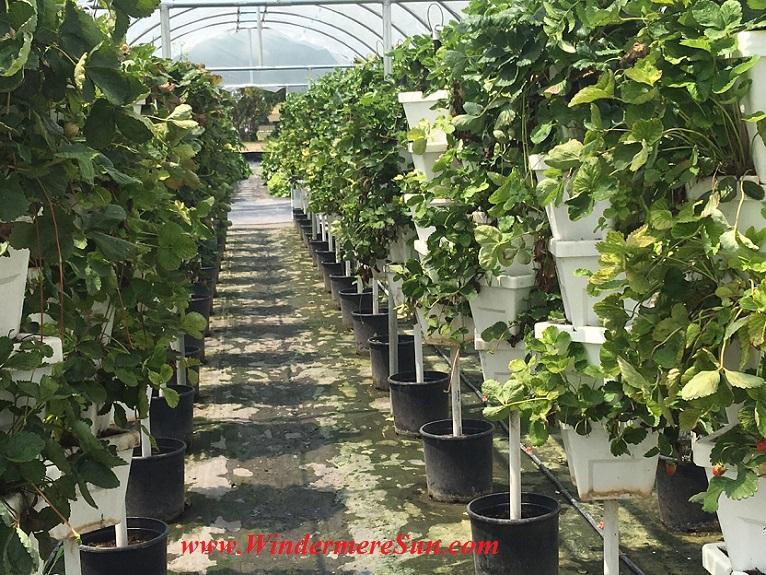 Bekemeyer Hydroponic Farm36, 1055 E. Story Road, Winter Garden, FL, BekemeyerFamilyFarm@gmail.com,407-917-8068, (credit: Windermere Sun-Susan Sun Nunamaker)