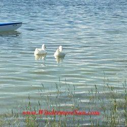 2 ducks want to join the race at Duanwu/Dragon Boat Race Festival of June 4, 2016 at Lake Fairveiw Park of Orlando, FL (credit: Windermere Sun-Susan Sun Nunamaker)