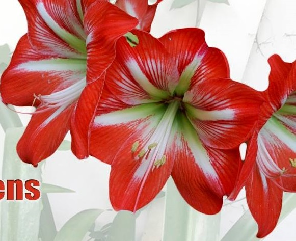holiday-amaryllis-final