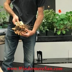 Turmeric from A Natural Farm (credit: Windermere Sun-Susan Sun Nunamaker)