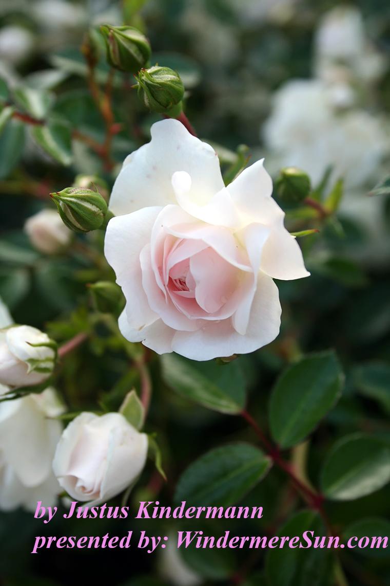 white-rose-1221209, Justus Kindermann final