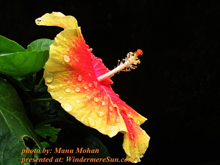 hibiscus-portrait-2-1180118, by Manu Mohan final