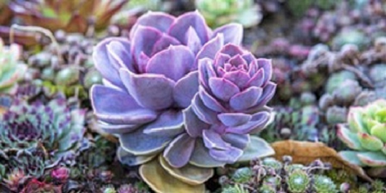 succulent of Leu Gardens final