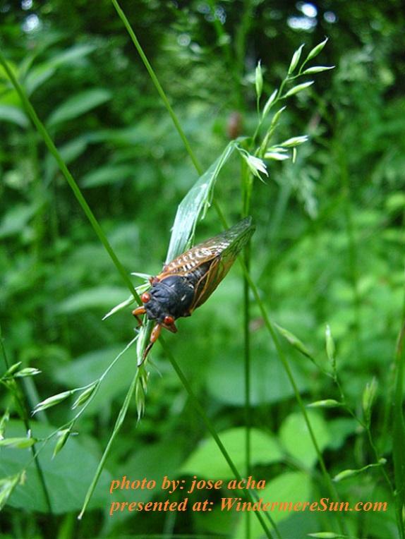 cicada-1515677, by jose acha final