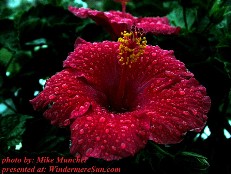 flower-in-the-rain-hibiscus-1354323, freeimages, by Mike Munchel final