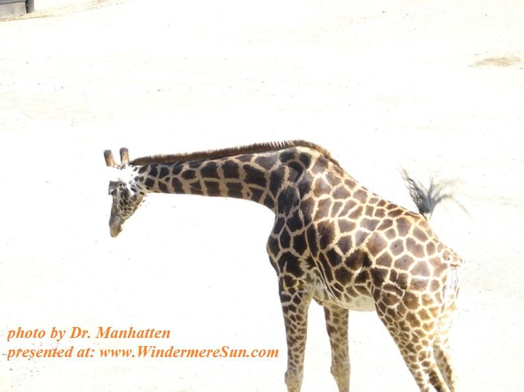 giraffe-1552283, freeimages, by Dr. Manhatten, week 7-15-2017 final