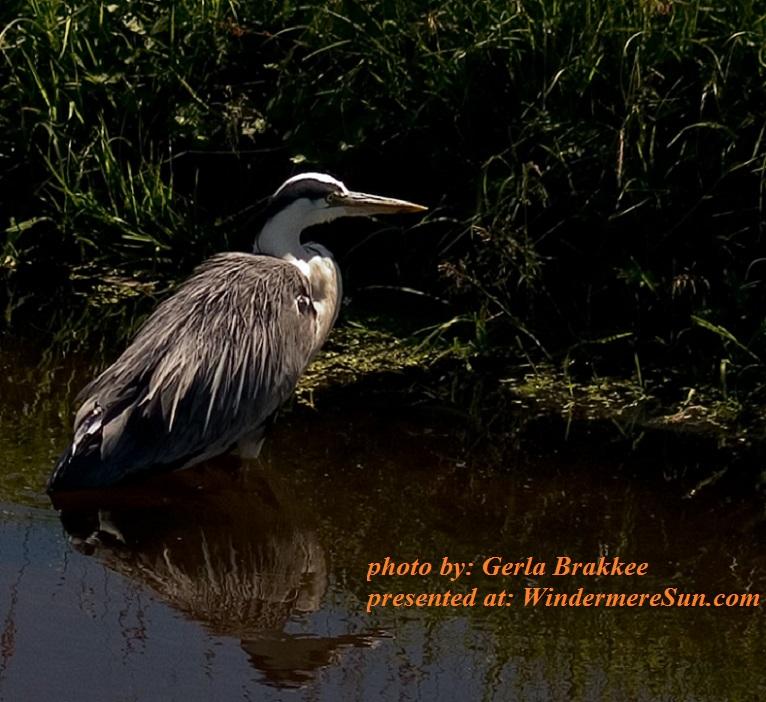 heron-1543492, by Gerla Brakkee final
