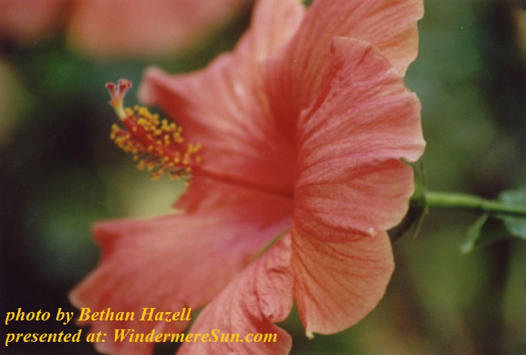 hibiscus-flower-1476514, freeimages, by Bethan Hazell final