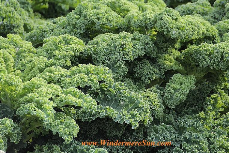 kale-vegetables-brassica-oleracea-var-sabellica-l-51372 final