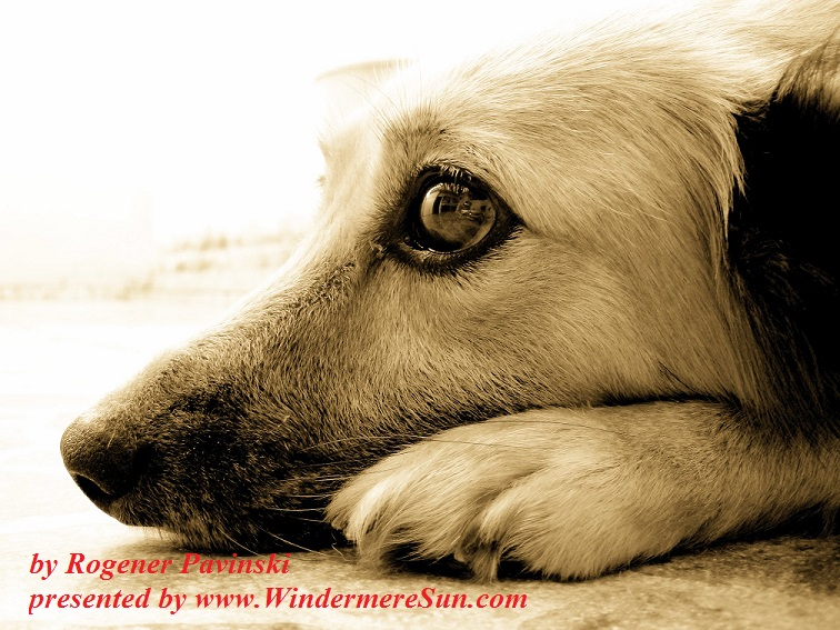 Pensive look of a dog-zaninha-1392366, freeimages, by Rogener Pavinski final