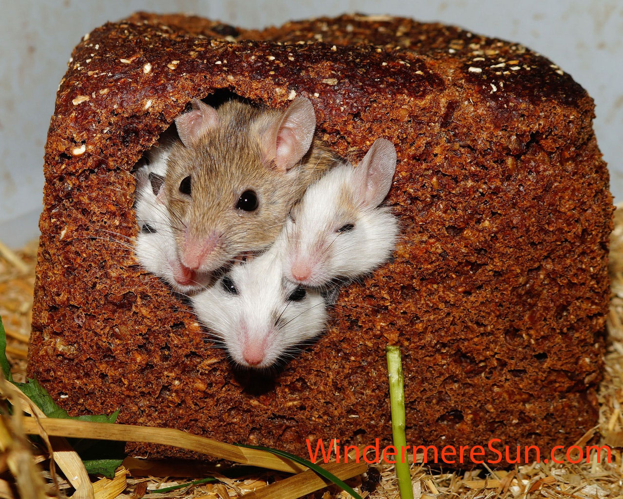 mastomys-mice-nager-rodents-55840 final