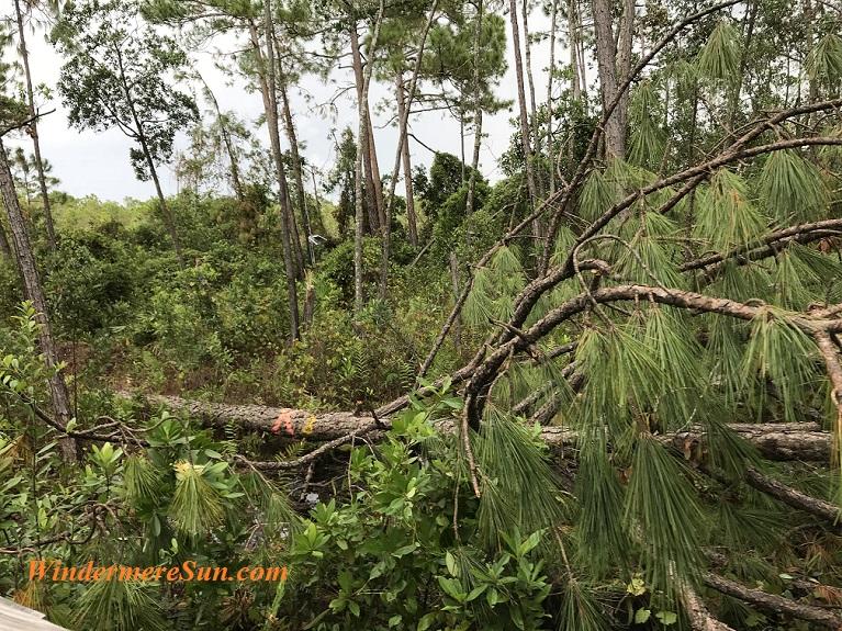 Fallen pines final