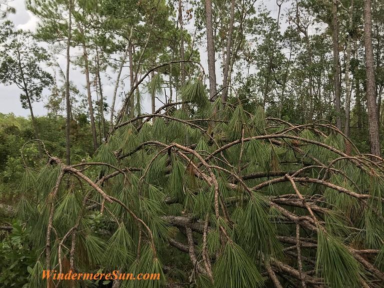 Weeping Pine Tree final