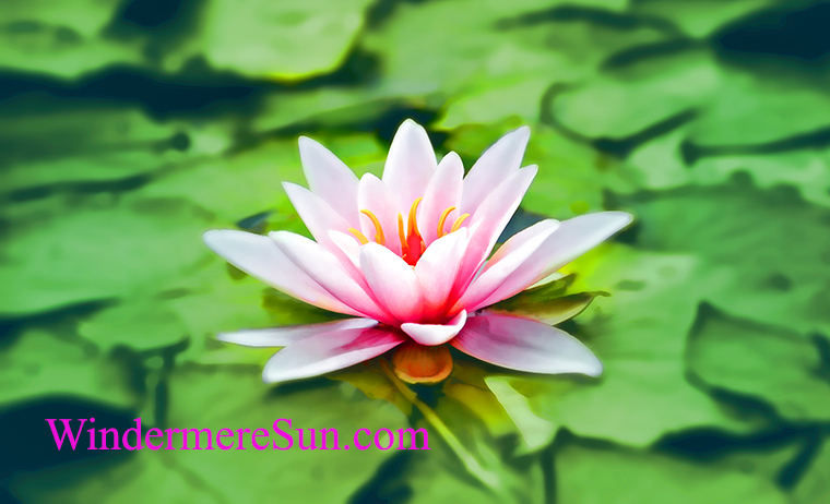 meditation-4-waterlily-pink-water-lily-water-plant-158465 final