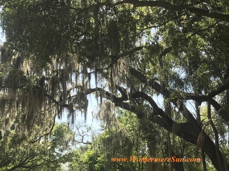 FL tree with Spanish moss final
