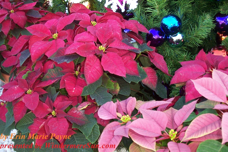 christmas-decor-2-1384166, freeimages, by Erin Marie Payne, poinsetta final