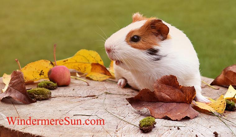 pets-guinea pig-11-18-2017-guinea pig-pexels-photo-248306 final