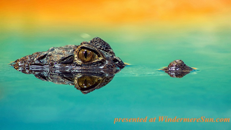gator,pexels-photo-207001final