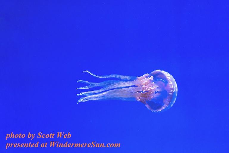 jellyfish,pexels-photo-137616, by Scott Webb final