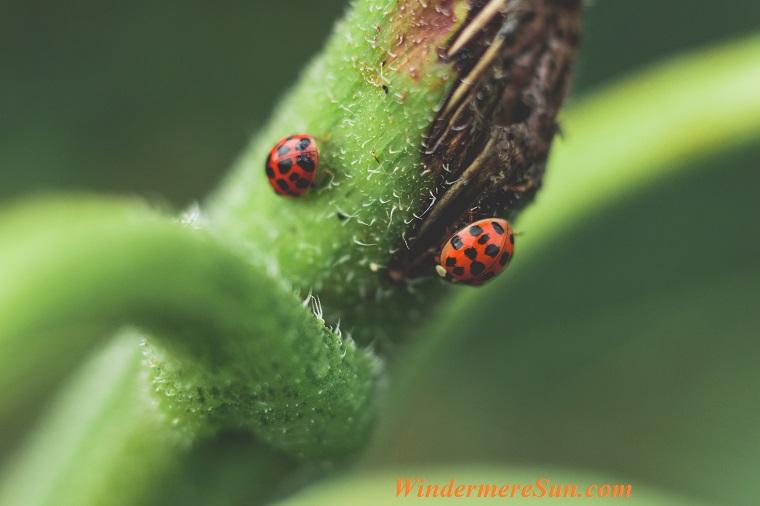 lady bug, pexels-photo-792952 final