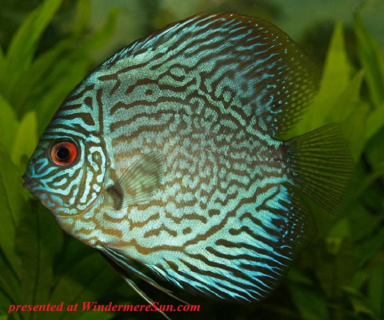 perch-cichlid-discus-cichlid-freshwater-fish-78790 final