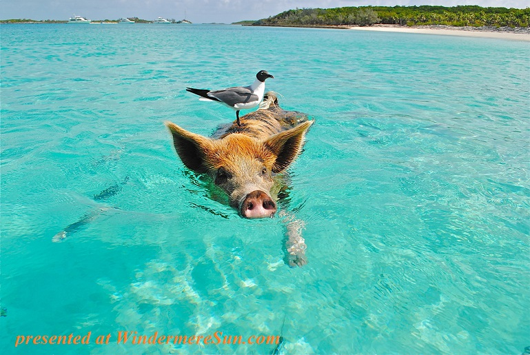 staniel-cay-swimming-pig-seagull-fish-66258 final