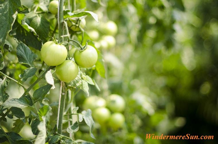 green tomatoes on vine, eggplant-400-08373800-400-08373801-400-08373802-400-08373803-161512 final