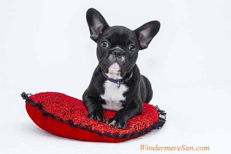 year of the dog, bulldog-puppy-dog-pet on red heart cushion, 2-10-2018 final