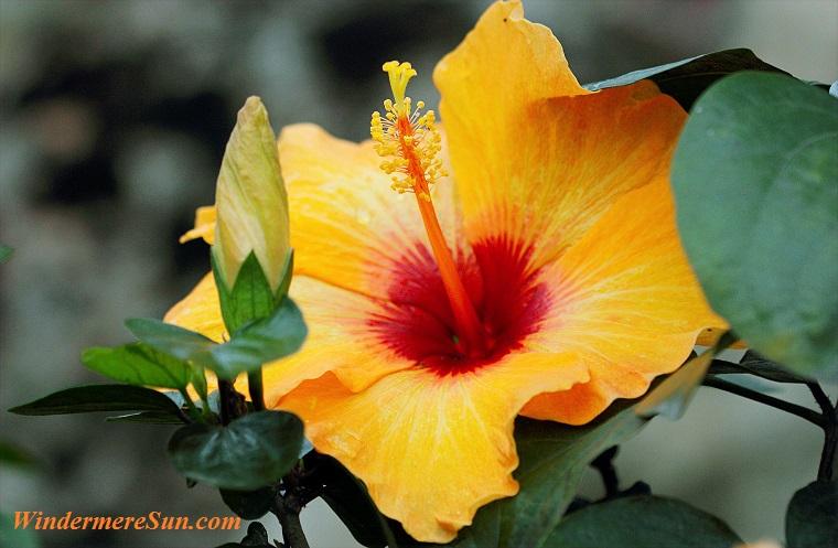 hibiscus, pexels-photo-720375 final