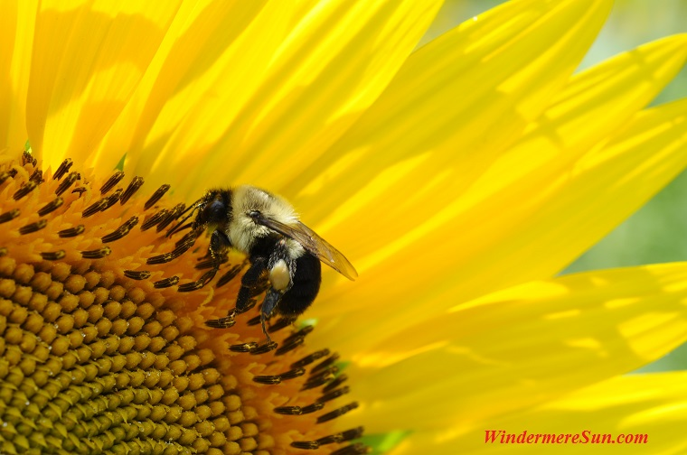 bee with quarter of sunflower, pexels-photo-248391 final